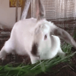 RABBIT FARMING: ANOTHER WAY OF INCREASING YOUR INCOME