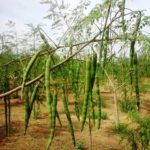 MORINGA BUSINESS: A POTENTIAL GOLDMINE FOR PROSPECTIVE INVESTORS