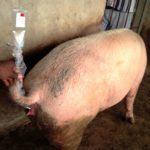 HOW A PIG FARMER LEVERAGED HIS FARM RETURNS