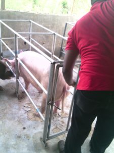 Pig, Pork, Sow, Weaners, Artificial Insemination, A.I, Boar,