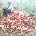 ROCKEFELLER FOUNDATION PROVIDES $1 MILLION GRANT TO INCREASE CASSAVA SHELF LIFE