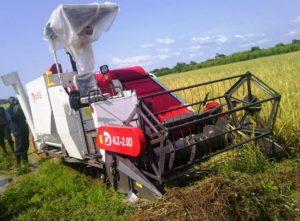 Rice, harvesting, threshing, winnowing