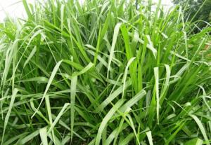 Brachiaria, Grass, Fodder, Pasture, Ranch