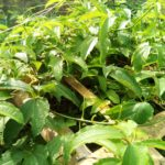 How Ugwu Farming can Improve Livelihoods