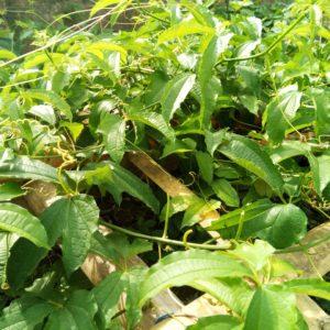 How Ugwu Farming can Improve Livelihoods