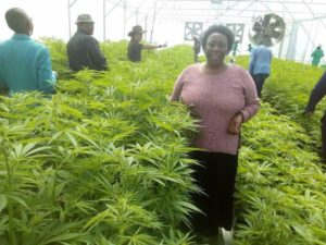 Marijuana, Cannabis, Lesotho, Ganja, CBD, THC