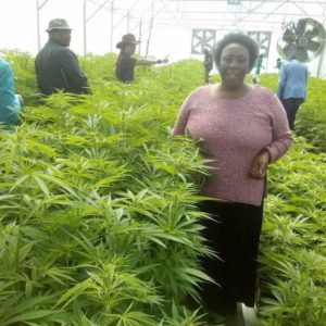Why Marijuana Cultivation is legalized in Lesotho?