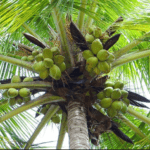 Investment Opportunities in Coconut Value Chain