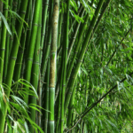 Harnessing Bamboo Farming in Africa for Economic Products